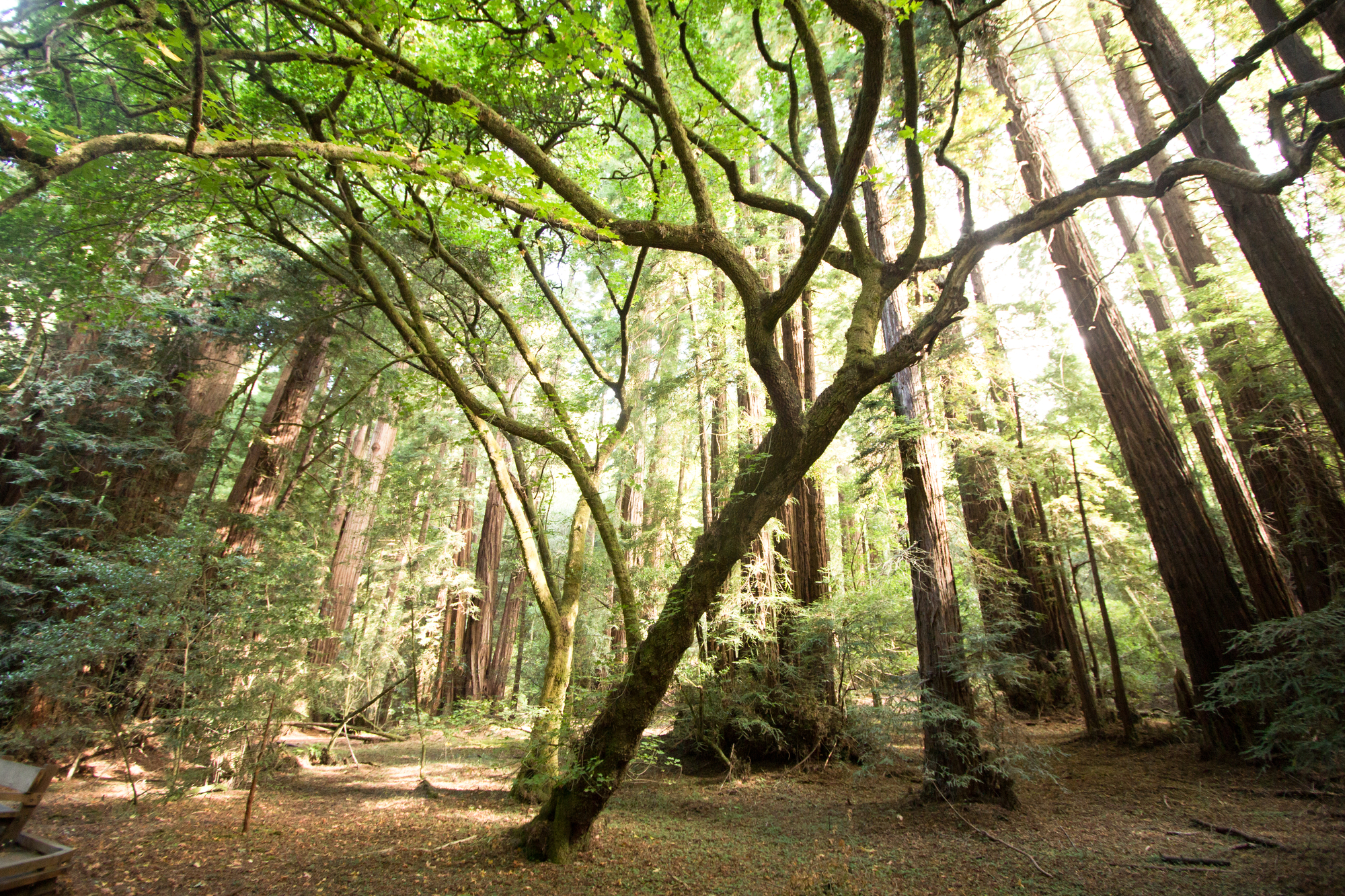 SF city tour of the red woods